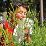 Allergia al polline di Ambrosia