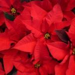 Stelle di Natale AIL 2016