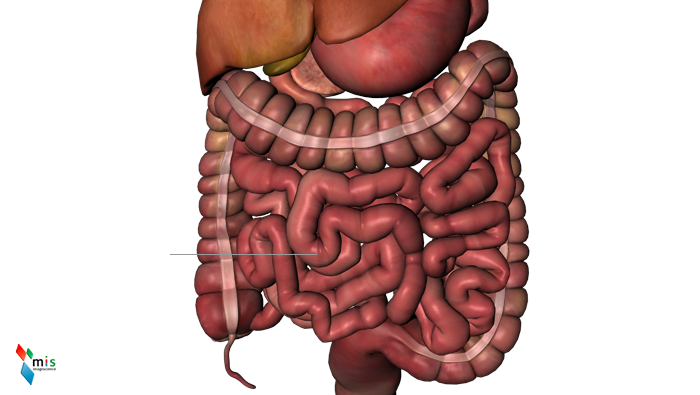 Intestino Tenue - organi